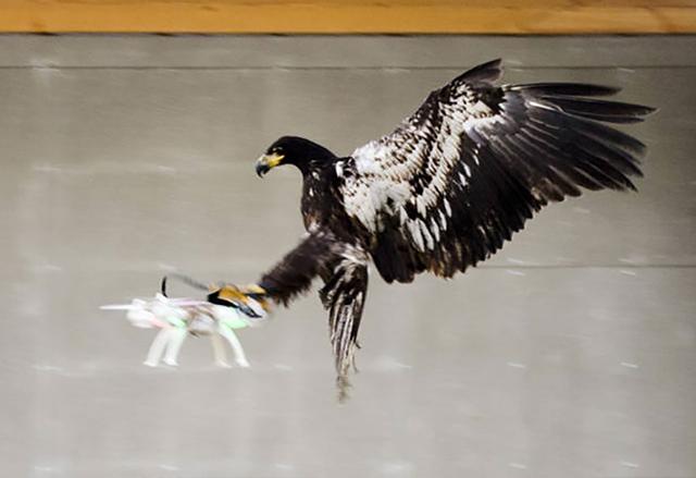 Холандската полиция обучава орли, които да свалят безпилотни дронове