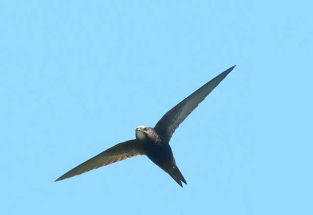 Тази удивителна птица може да лети без прекъсване почти година