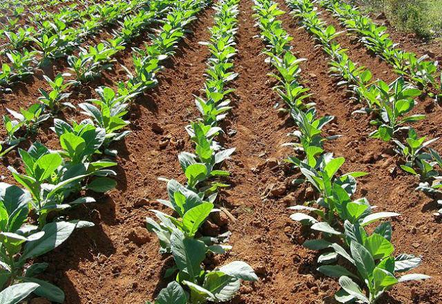 Гените, отговорни за фотосинтезата, може да повишат реколтата