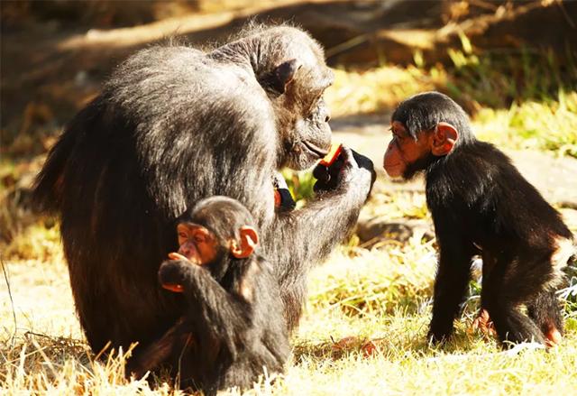 Шимпанзетата разпознават дупетата си със същата точност, с която ние лицата си