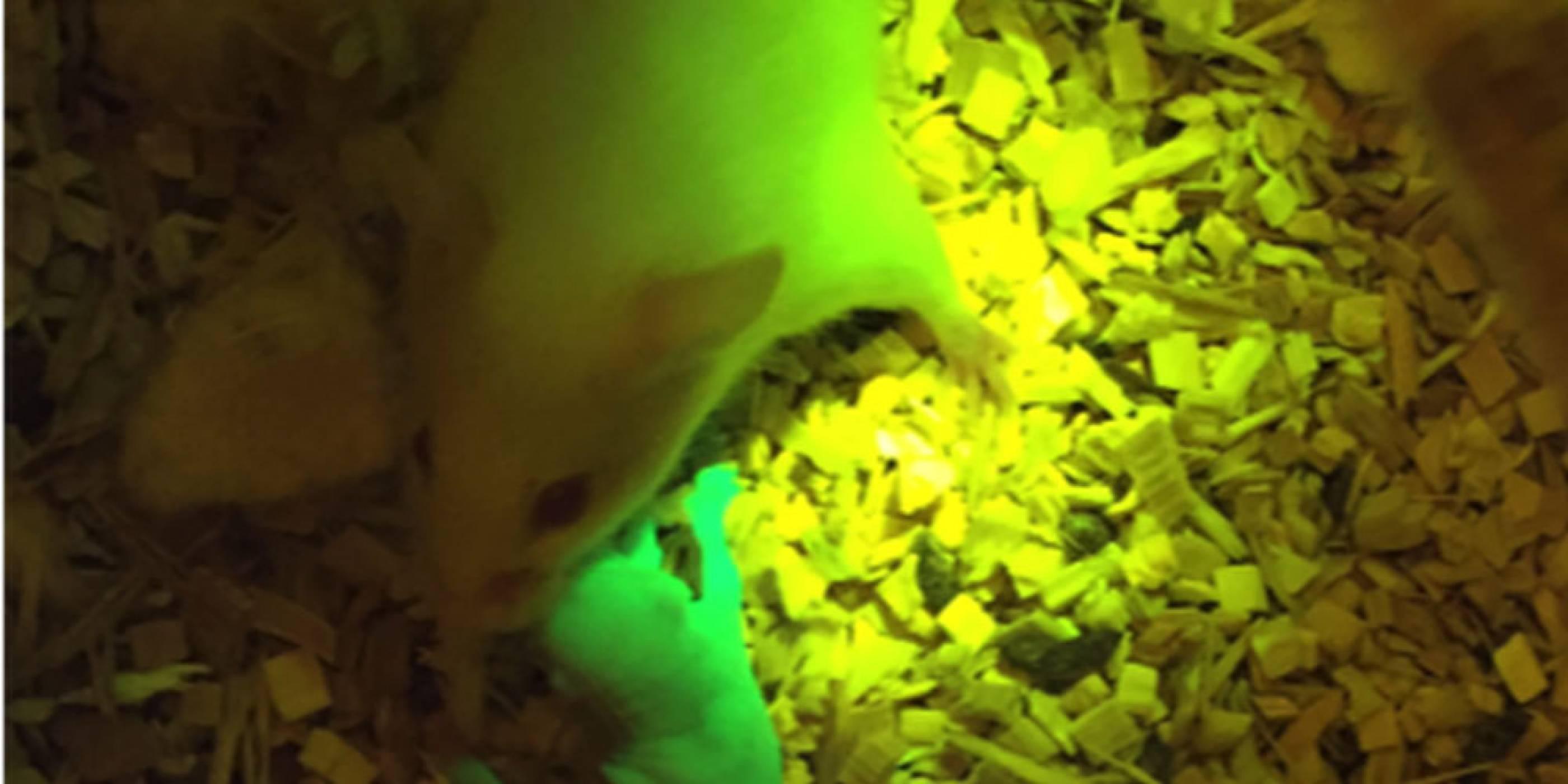 Мишка с 3D-отпечатани яйчници успешно роди здрави мишлета