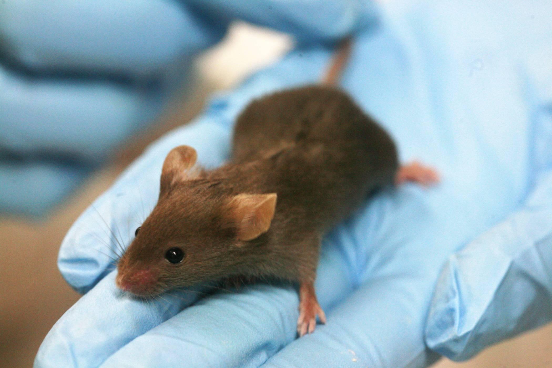 Учени освободиха блокираните спомени при болни от Алцхаймер мишки