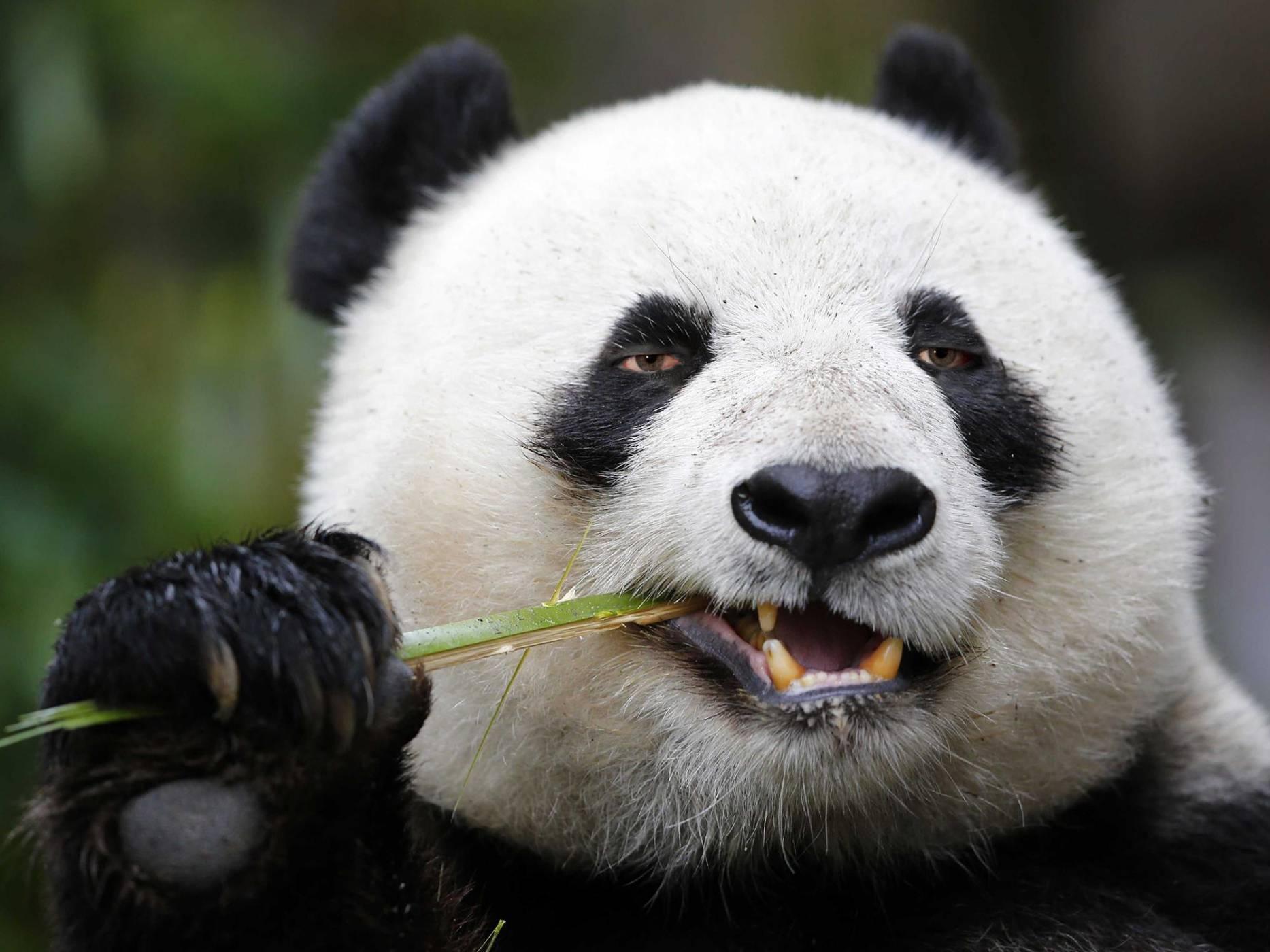 Пандите имат впечатляващото умение да неутрализират цианид