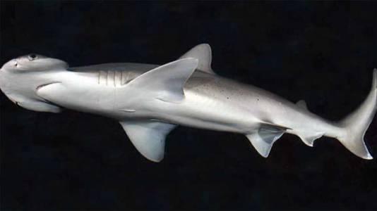 Всеядна акула пасе морска трева