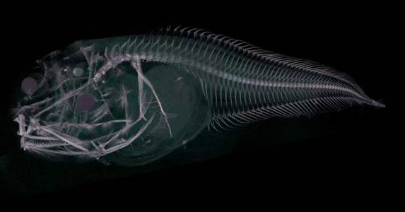 Откриха кошмарни риби, разтапящи се на слънчева светлина