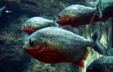 Тези праисторически пирани са сред най-ранните хищни риби