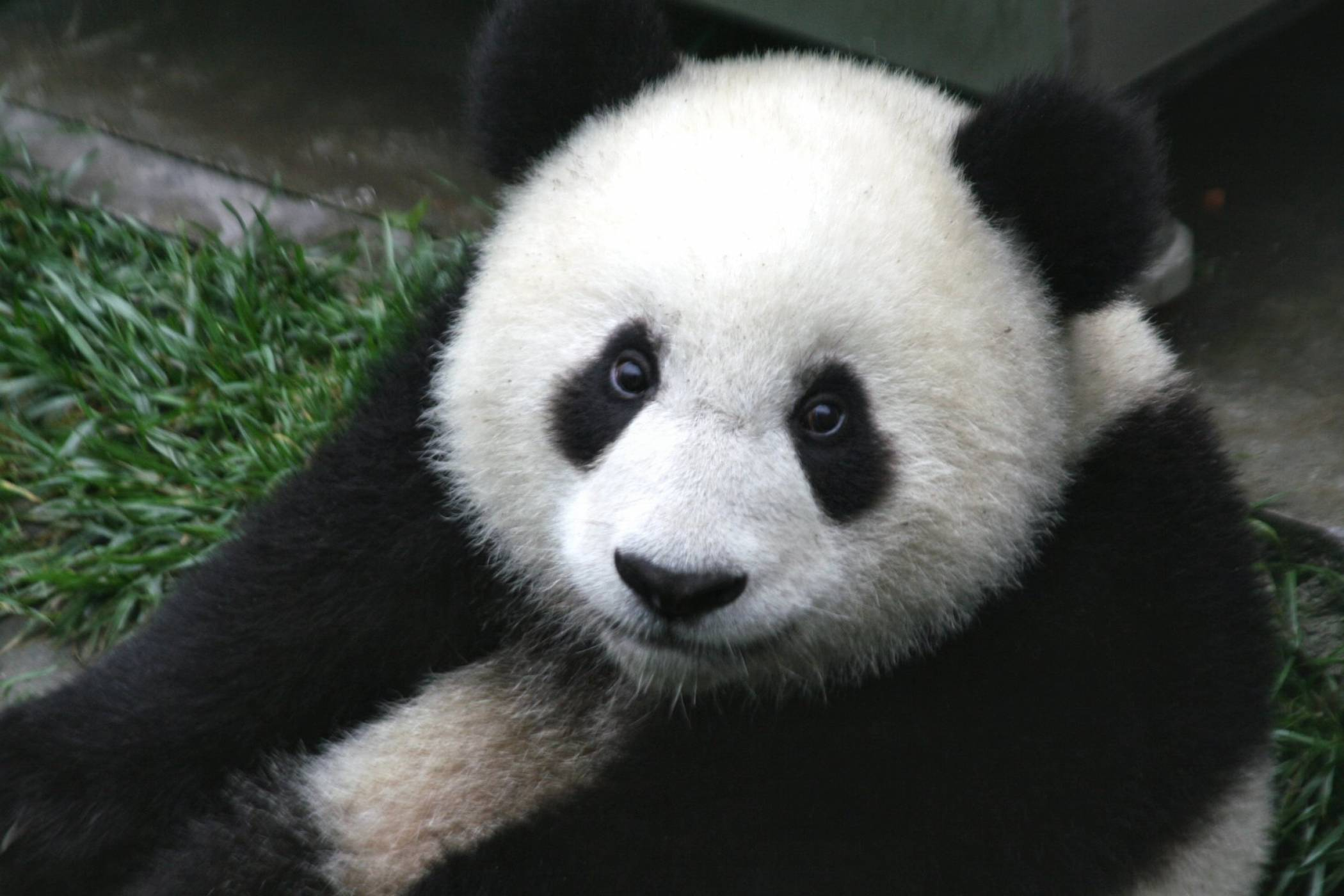 Изкуствен интелект брои пандите в Китай