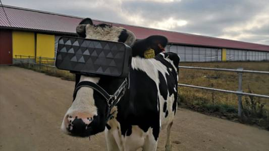Made in Russia: крави използват VR шлемове, за да дават повече мляко (СНИМКИ)