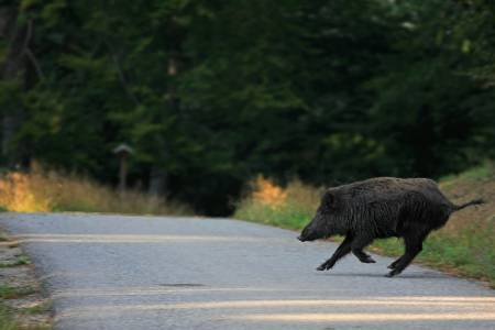 Вижте как Tesla Autopilot избягва челен удар с прасе на пътя (ВИДЕО)