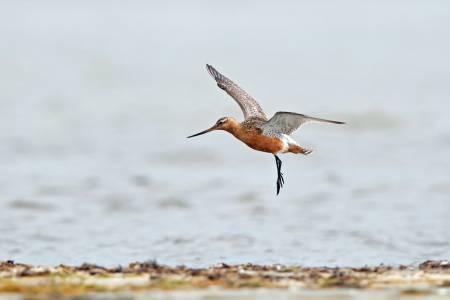 Птица рекордьор прелетя от Аляска до Нова Зеландия, без да каца