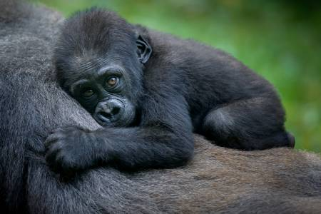 8 горили са диагностицирани с COVID-19