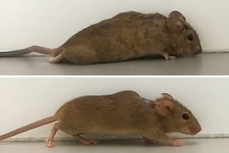Невероятно лечение позволява на парализирани мишки да ходят отново