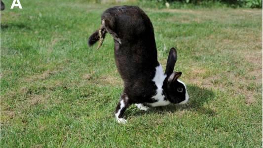 Странна генетична мутация кара зайци да ходят на два крака