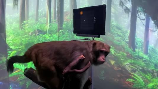 Според Илон Мъск тази маймуна играе на Pong с мозъка си