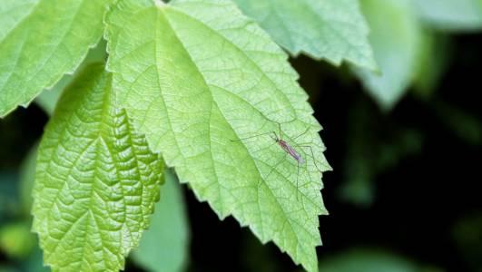 Първите в света генетично модифицирани комари вече жужат в САЩ