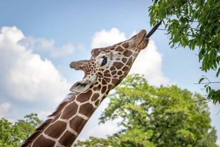 Зоопарк гони дронове, защото притесняват жирафите